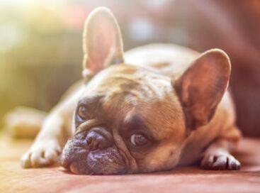 Bulldog Dog Pet Animal Domestic Dog Canine Mammal