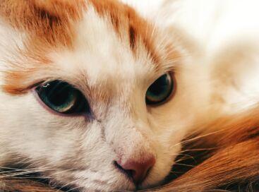 Red-Headed Cat Portrait Cat Eyes View Mustache